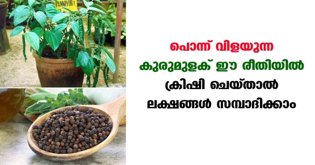 How to earn money by easy way of planting Bush pepper in terrace