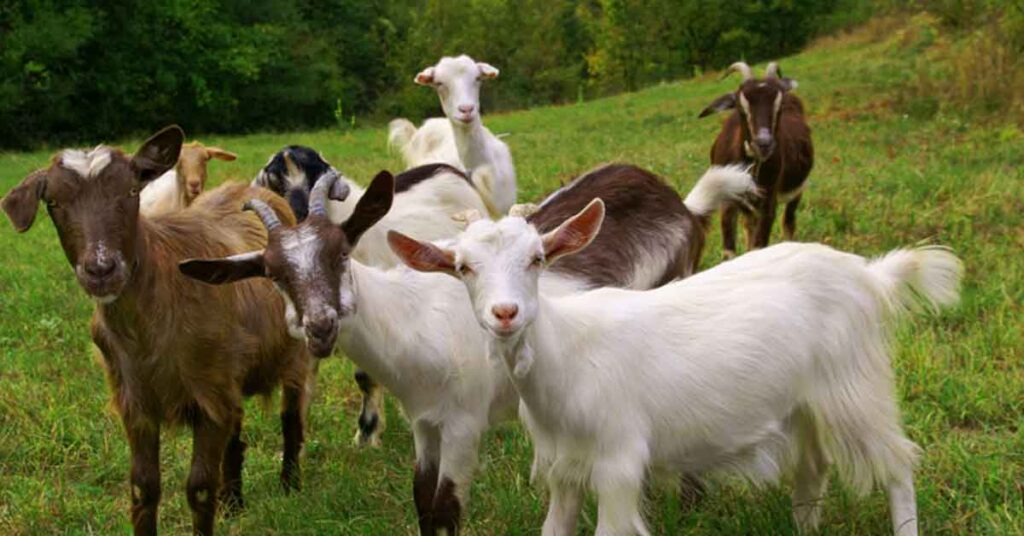 How To Get Goat Farming Loan & Subsidy Scheme