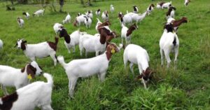 How to apply Goat Satellite in kerala